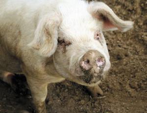 pig face_opt