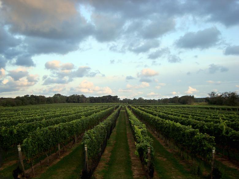 Vines at Bedell Cellars.