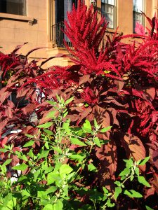 red amaranth and pigweed