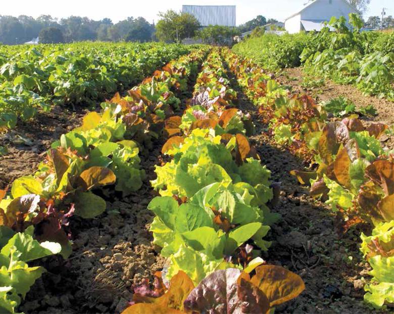 rows of lettuce crops on a farm