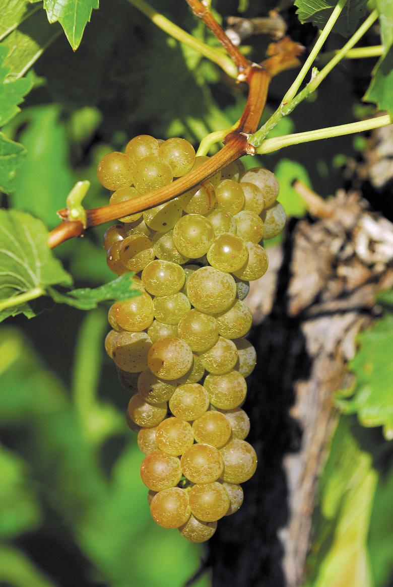 grapes  EM31