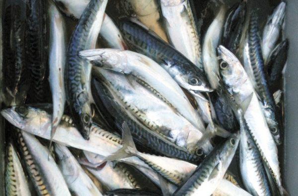 mackerel-PaulGreenberg_opt-e1362619379521