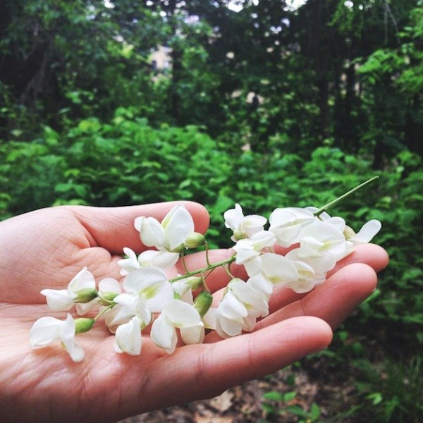 black locust flowers