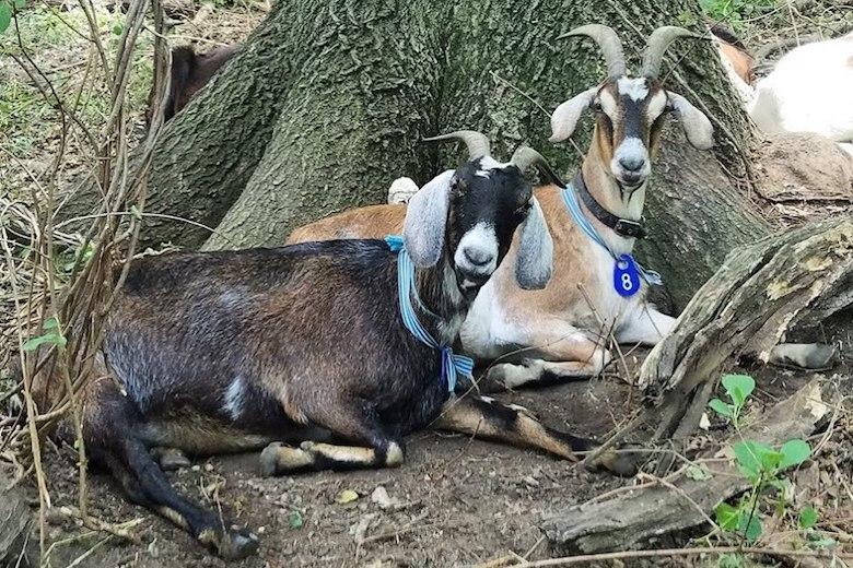 riverside-park-goats