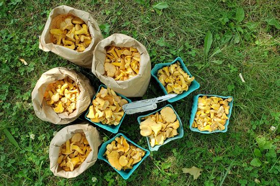 hunting-chanterelles-upstate-new-york